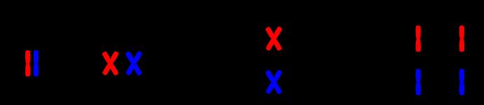 meiose einfach erklärt